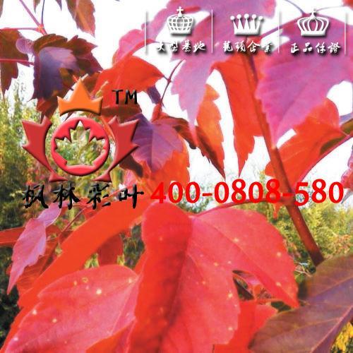 红叶复叶槭