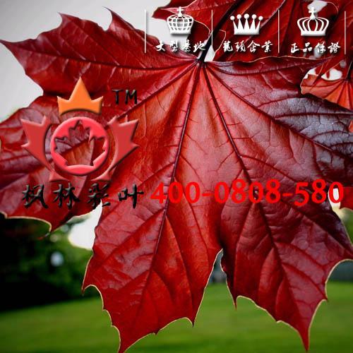 紫叶挪威槭,红国王,河南红国王,紫叶挪威槭,河南紫叶挪威槭