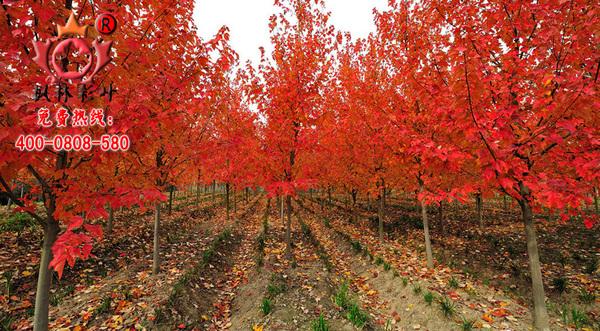 美国红枫,基地秋景